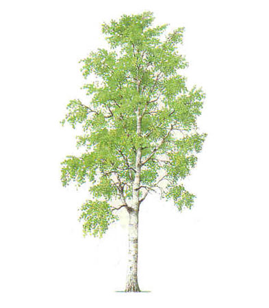 The Silver Birch - symbol of the Briese family.